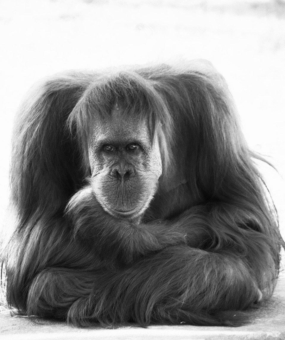 Un singe en hiver N°1